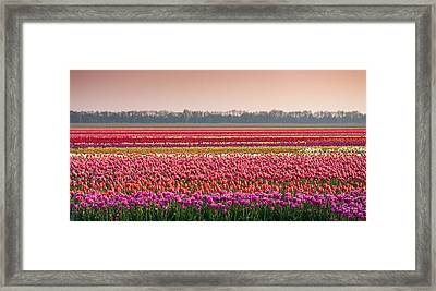 Field With Tulips Framed Print