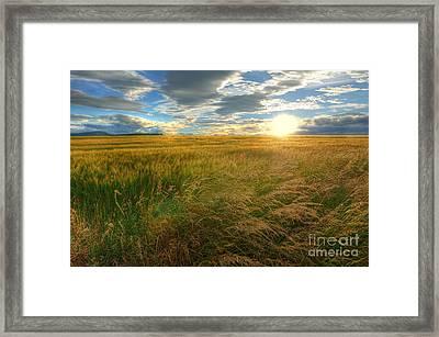 Fields Of Gold Framed Print by John Kelly