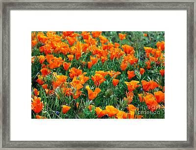 Framed Print featuring the photograph Fields Of Poppies by Johanne Peale