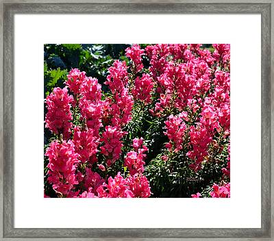 Fiery Pink Framed Print by Maria Urso