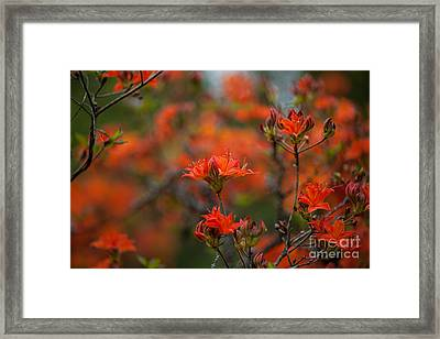 Fiery Spring Framed Print by Mike Reid