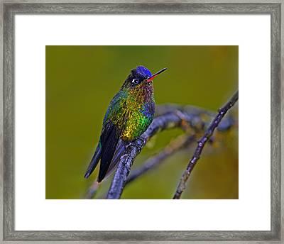 Fiery-throated Hummingbird Framed Print