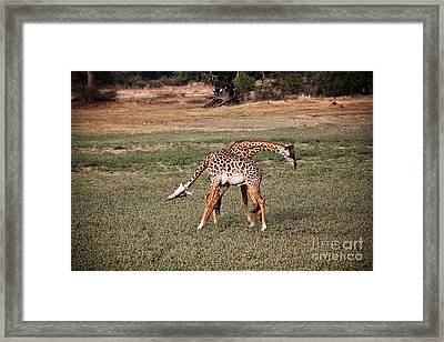 Fighting Giraffe Framed Print by Gualtiero Boffi