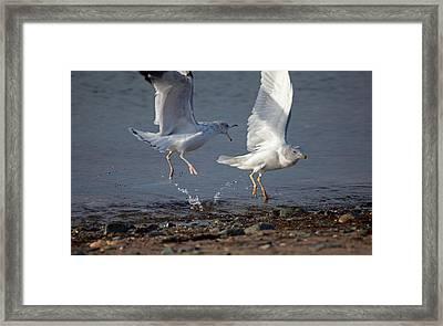 Fighting Gulls Framed Print by Karol Livote