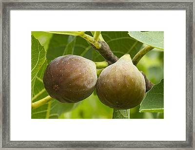 Figs Framed Print by Carrie Cranwill
