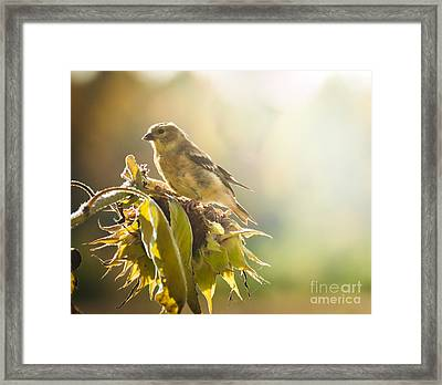 Finch Aglow Framed Print by Cheryl Baxter