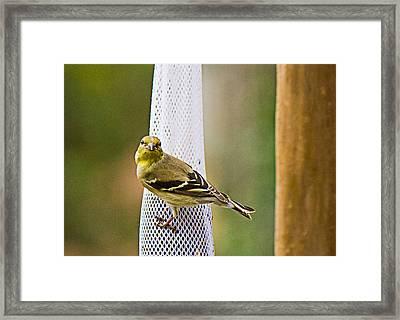 Finch Framed Print by Barry Jones