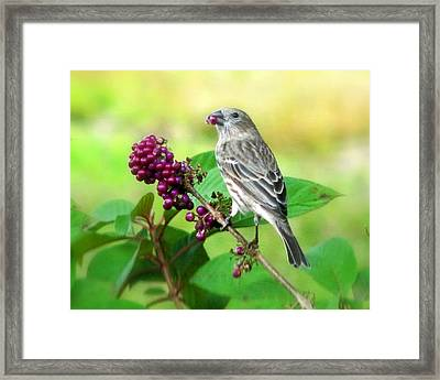 Finch Eating Beautyberry Framed Print by Peg Urban