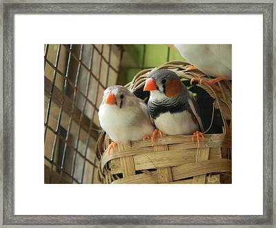 Finches In Their Nest Framed Print by Arindam Raha