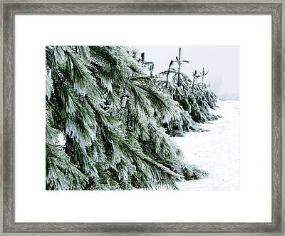 Fir And Ice Framed Print by Sophie Vigneault