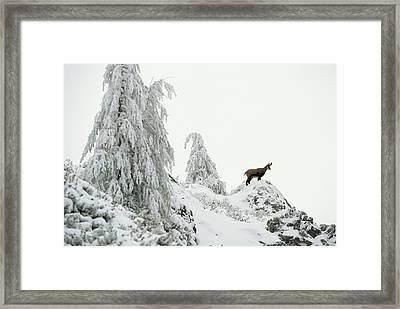 Fir Trees And Chamois In Snow Framed Print