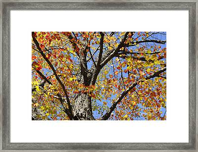Fire Maple Framed Print