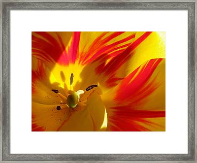Fire Tulip Framed Print