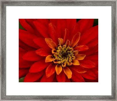 Firecracker Framed Print by Carrie Cranwill