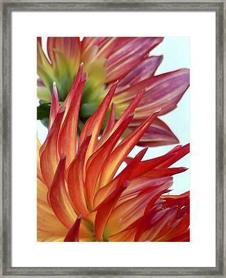 Firecracker Dahlia Framed Print by Pamela Patch