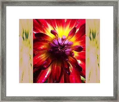 Firecracker Dahlia... Framed Print by Rene Crystal