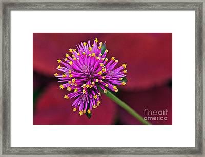 Fireworks Flower Framed Print by Byron Varvarigos