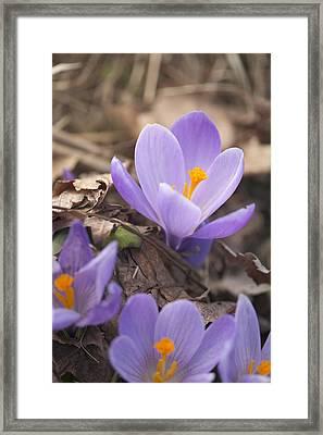 First Crocus Blooms Framed Print