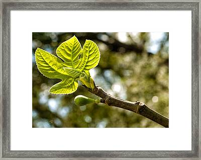 First Leaves And Fig  Framed Print by Barbara Middleton
