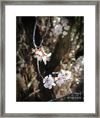 First Sakura Branch Framed Print by Laura Iverson