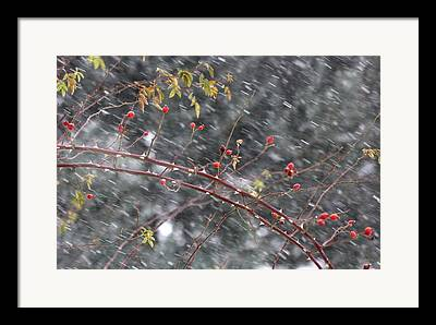 Fruits White Grey Red Leaves Berries Pyrenees France Winter Snow France Framed Prints