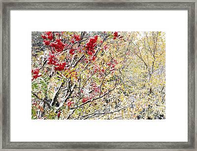 First Snow Mountain Ash Framed Print
