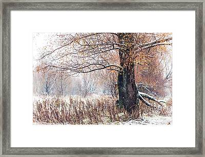 First Snow. Old Tree Framed Print