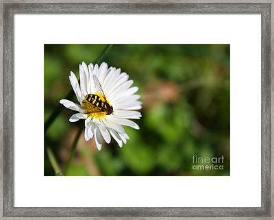 First Spring Bee Framed Print by Tyra  OBryant