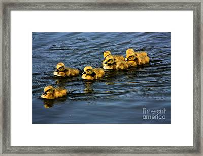 First Swim Baby Geese Framed Print by Nick Gustafson