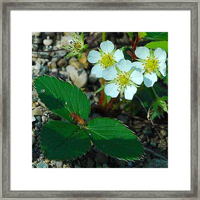 First Wild Strawberry Blossom Framed Print