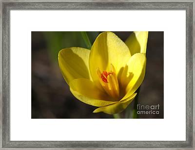 First Yellow Crocus Framed Print