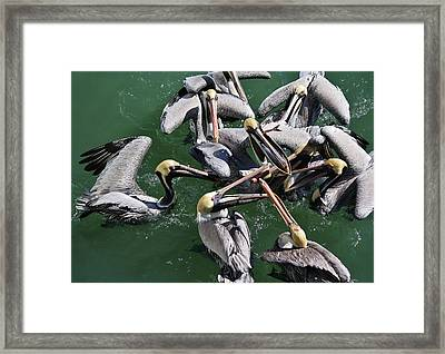 Fish Fight Framed Print by Paulette Thomas