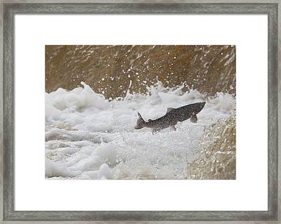 Fish Jumping Upstream In The Water Framed Print