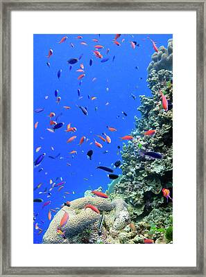Fish On Tropical Coral Reef Framed Print by Carl Chapman