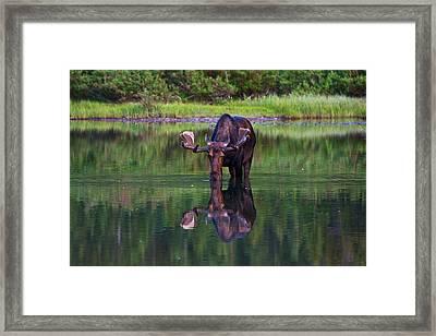 Fishercap Bull Framed Print