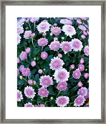 Fisheye Of Pink Flowers Framed Print by Malania Hammer