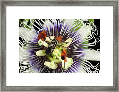 Flag-footed Bug Anisocelis Flavolineata Framed Print by Christian Ziegler