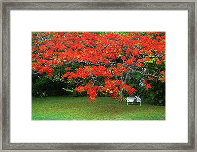 Framed Print featuring the photograph Flamboyant Tree- St Lucia by Chester Williams