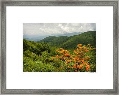 Flame Azalea Framed Print by Michael Hodges