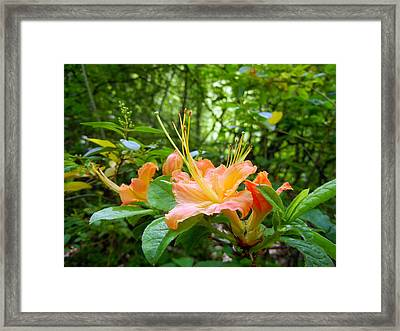 Flame Azalea Framed Print by Vix Views