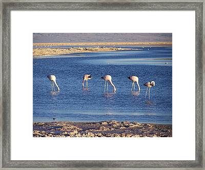 Flamencos At The Atacama Salar Framed Print