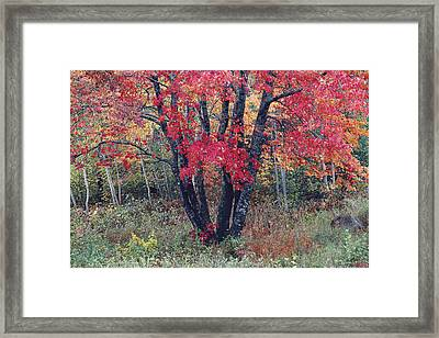 Flaming Autumn Maple Framed Print