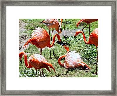 Flamingo Face-off Framed Print by Elizabeth Hart
