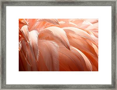 Flamingo Feathers Framed Print by Paulette Thomas