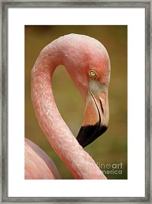 Flamingo Head Framed Print