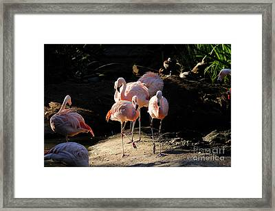 Flamingo Framed Print by Marc Bittan