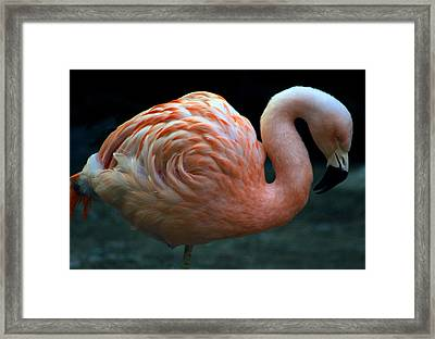 Framed Print featuring the photograph Flamingo by Tammy Espino