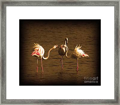 Flamingos Argue Framed Print by Radoslav Nedelchev