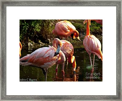 Framed Print featuring the photograph Flamingos by John Burns