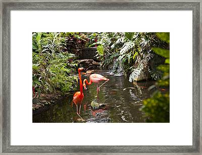 Flamingos Wades In Shallow Water Framed Print by Taylor S. Kennedy